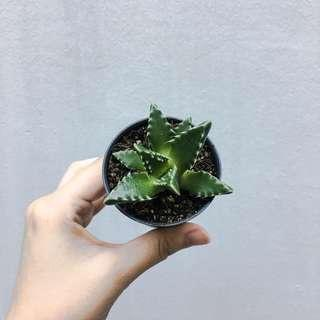 Pot of Succulent #88