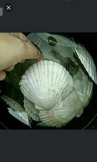 [LAST 30 PCS] GARDENING/PET/CRAFT - 3 Real Scallop Shells (With No Chemical Coating) For Sale