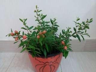 極靚石榴花,多花種的吉慶盆栽(二)陽光植物(連胶盆)出售!滿心栽種!