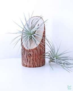 Wood: Stump with cotton candy air plant