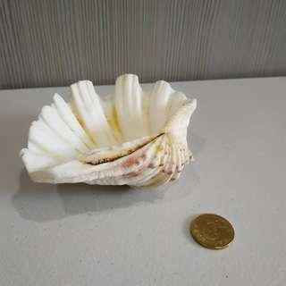 🚚 【居家飾品】貝殼擺飾 小物收納