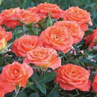 🚚 Mandarin Sunblaze® Rose Seeds X30
