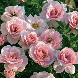 🚚 Sweet Sunblaze® Rose Seeds X 25