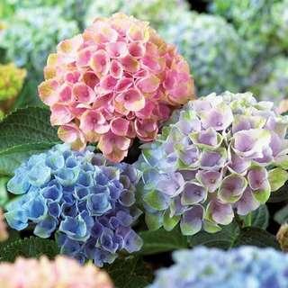 🚚 Hydrangea Everlasting™ Revolution Seeds X 10