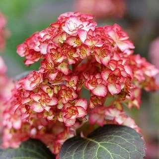 🚚 Hydrangea Miss Saori Seeds X 10