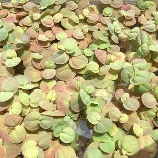 HOT BUY: Mature Red root floater (Phyllanthus fluitans)