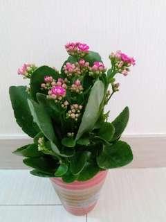 極靚開心花卉「家樂花」!充滿喜樂陽光植物,花多盛開栽種!