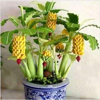 30 Pcs Dwarf Banana Seeds Bonsai Tree Tropical Fruit Seeds Balcony Flower for Home Plants