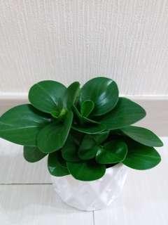 碧玉花(稱心盆栽)!美麗幸福植物,常綠極美型態「連胶盆」
