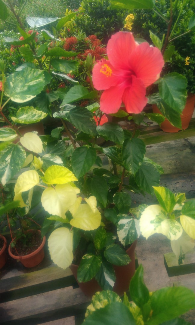 Variegated Hibiscus Plant Rare Gardening Plants On Carousell