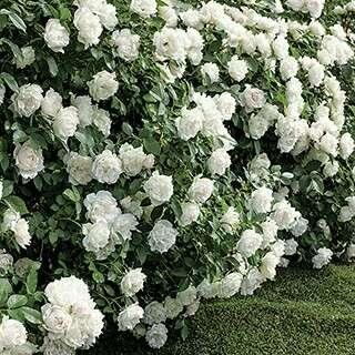 🚚 Icecap™ Floribunda Rose Seeds X 20