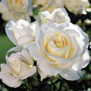 🚚 Moondance Floribunda Rose Seeds X 25