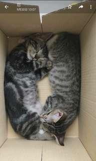 可愛寵物 一對貓仔待領養