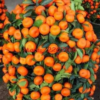 50 Pcs Bonsai Orange Potted Edible Tangerine Citrus Seed