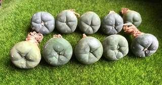 Succulents! - Lophophora Diffusa