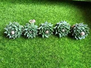 Succulents! - Obregonia Denegrii