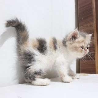 Jual Kucing Exotic 2 Bln