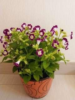 喜悦花卉「夏堇」茂密常開陽光盆栽,易種滿滿花兒開不停,太美了!