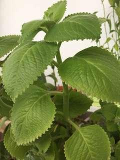 Indian Borage or Mexican mint