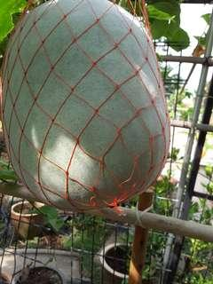 Organically grown winter melon