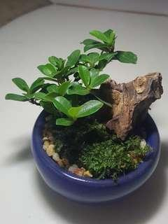 A mini ficus bonsai terrarium