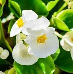 🚚 White Begonia Seeds X 10