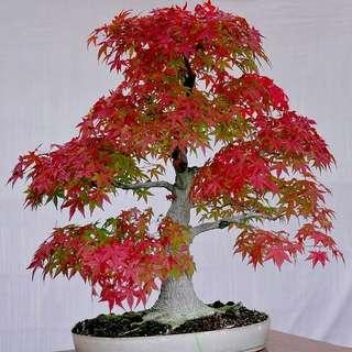 🚚 Japanese Red Maple Bonsai Seeds X 20