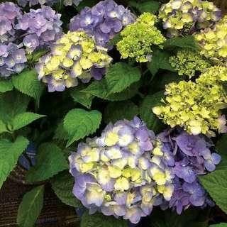 🚚 Endless Summer® BloomStruck® Hydrangea Seeds X 15 Seeds