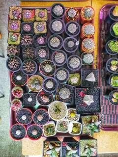 Assorted Astrophytum and LB and many more