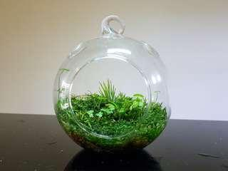 Airplant Terrarium, moss garden, indoor plants