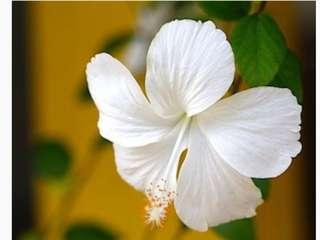 WTB (want to buy) white hibiscus