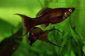 Black molly aquatic fish