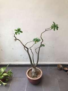 Fortune Flower (Fu Gui Hua)