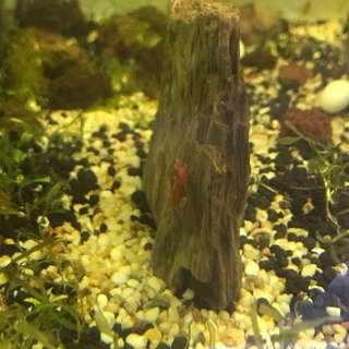 Red Cherry Shrimp / Udang Merah Kecil