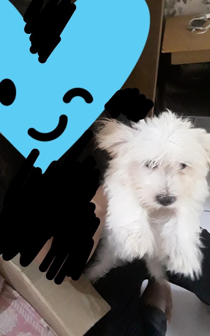 Anak Anjing Maltese 3 Bulan Lebih Perlengkapan Hewan Aksesoris Hewan Di Carousell
