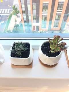 Cute Succulents $5 each (not including pots)