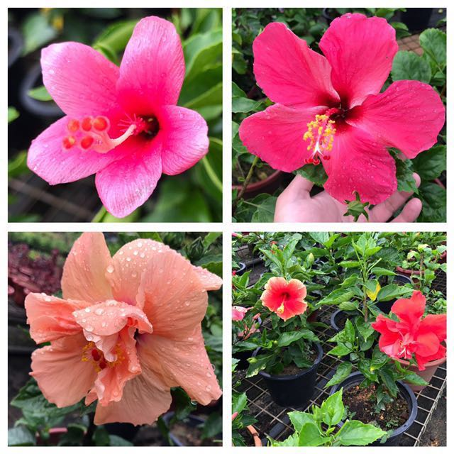 Hibiscus Plants In Various Colors Gardening Plants On Carousell
