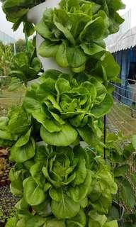 GreenGift High Rise Planter loaded with Pesticide-free Vegetables
