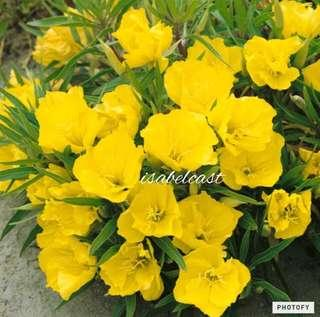 Yellow Evening Primrose Seeds