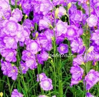 Pink Lavender Evening Primrose Seeds