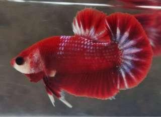 Ikan cupang red hell boy plakat