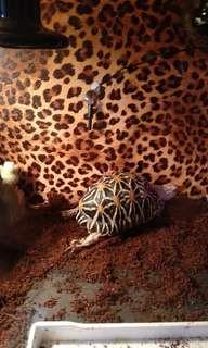 徵雌性星龜一隻