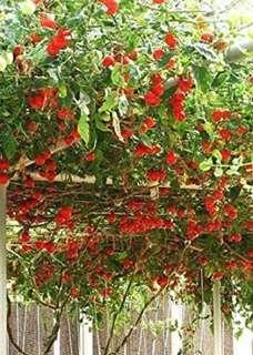 Italian Tomato Trees Seeds