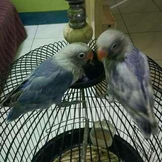 Lovebird lolohan (2 ekor)