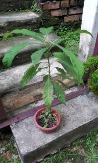Avoccado Plant