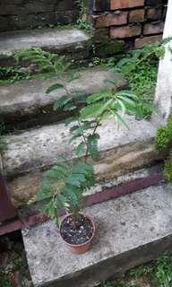 Tamarind (asam) plant