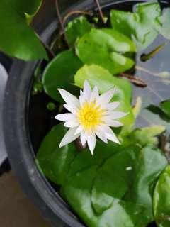 Water Lily (plant only) with flower