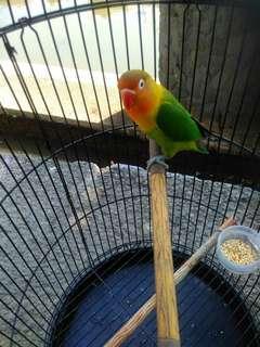 Lovebird sudah siap tempur + kandang