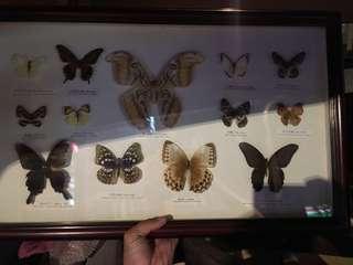 🚚 蝴蝶標本