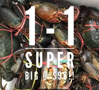 1-1 SUPER BIG LIVE MUD CRAB